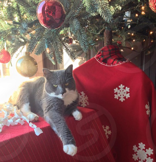 gray and white cat under green Christmas tree photo