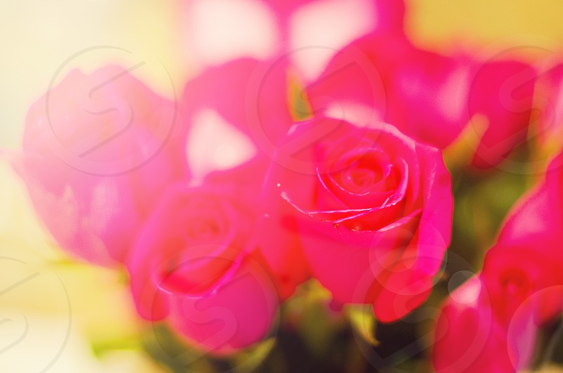pink rose flowers photo