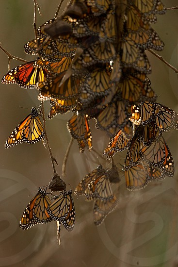 A Cluster of Monarch Butterflies come together for warmth on a tree branch photo