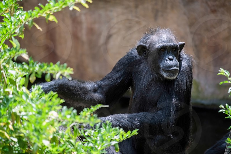 Chimpanzee resting in the Bioparc Fuengirola photo