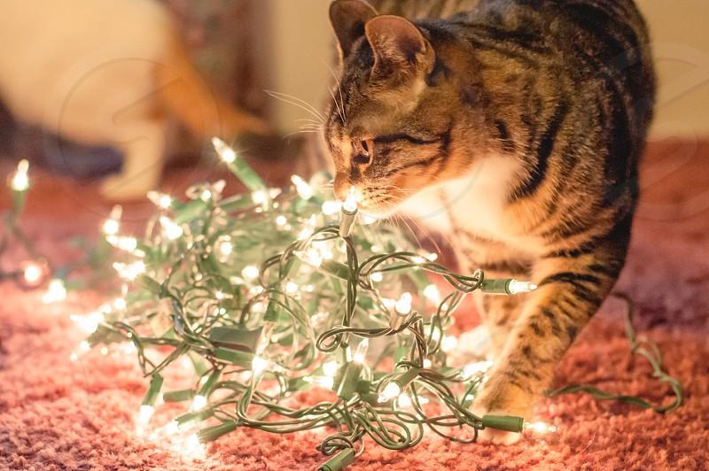grey tabby cat beside Christmas light photo