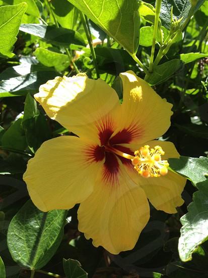 Hawaii yellow hibiscus flower  photo