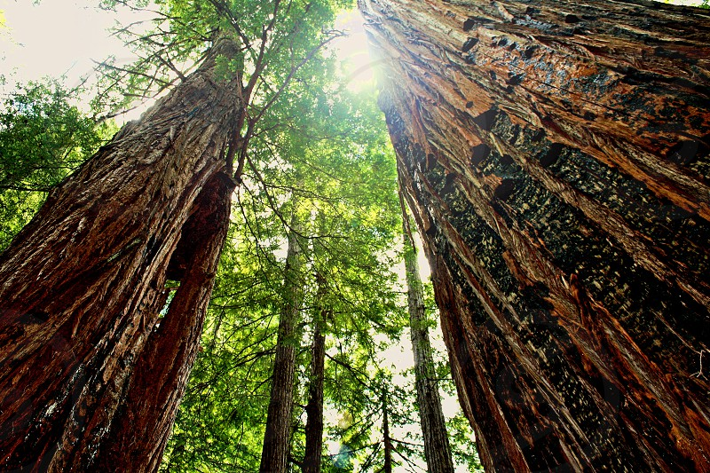 Looking up to the top of redwood trees Humboldt Redwoods State Park California photo