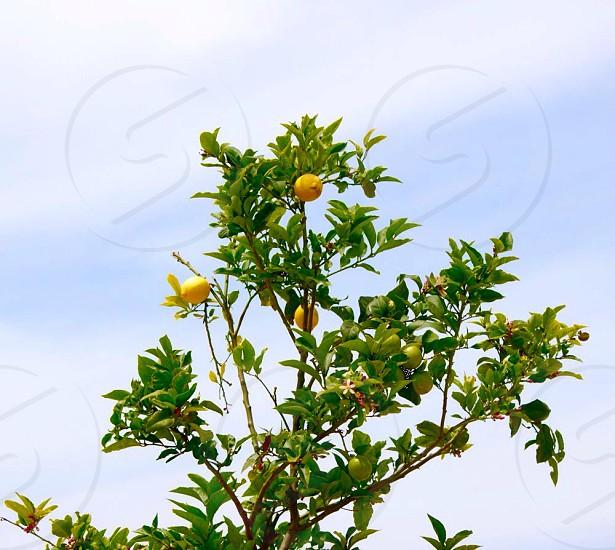 Lemon Trees  photo