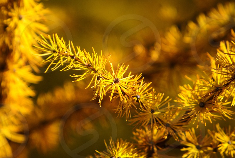 Yellow spruce needles from a larch yellow tree macro close up nature photo