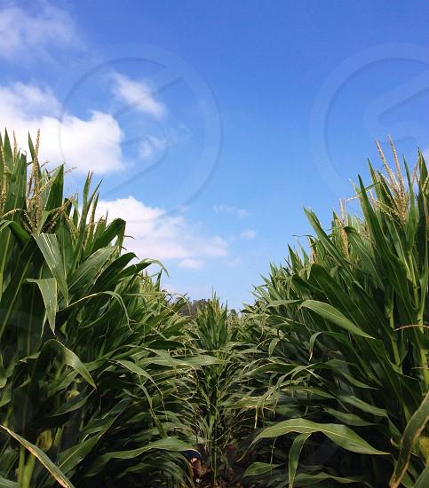Corn Maze. photo