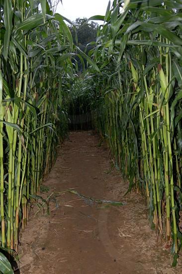Pathways. New Hampshire. Fall. Harvest. Corn. photo