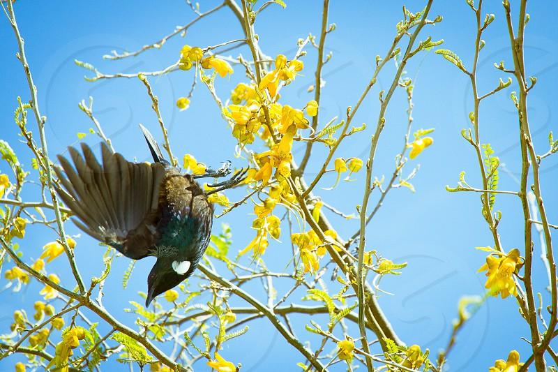 New Zealand Tui in a yellow Kowhai tree photo