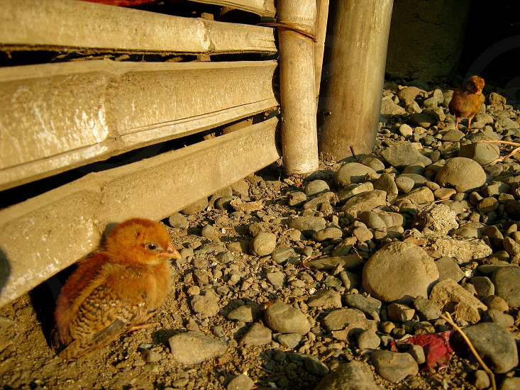 Chick in morning sun-breath. photo