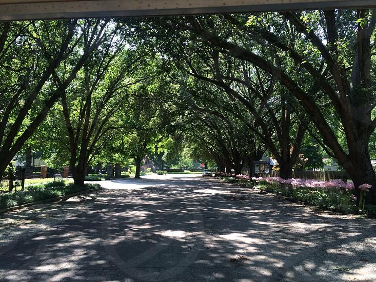 Trees drive tree canopy street road photo