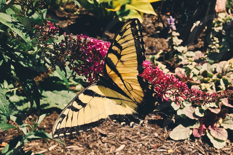 eastern tiger swallowtail butterfly on ground photo