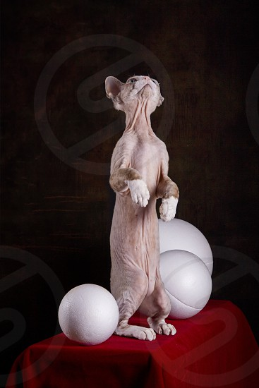 Kitten of the Devon Rex breed on a red table with white balls photo
