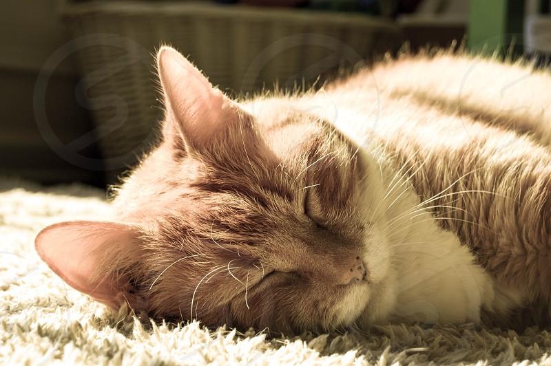 """cat kitty tabby """"orange cat"""" pet nap catnap photo"""