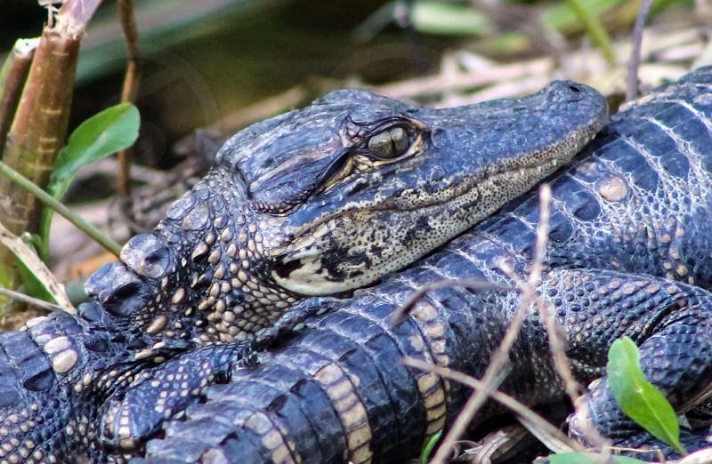 Black baby alligator photo