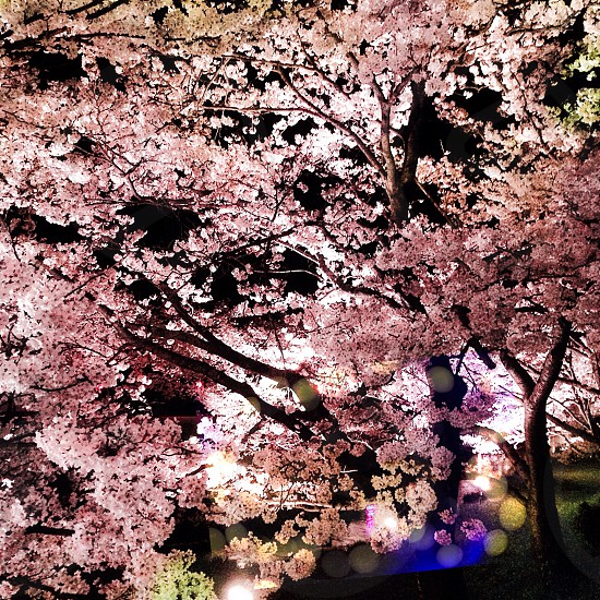 close up photo of cherry blossom trees during nighttime photo