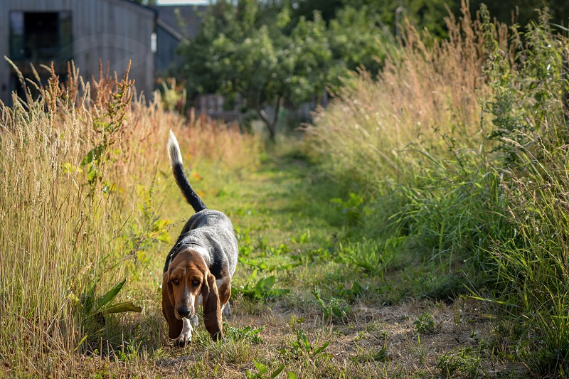 A basset hound walking down a grass cut path photo
