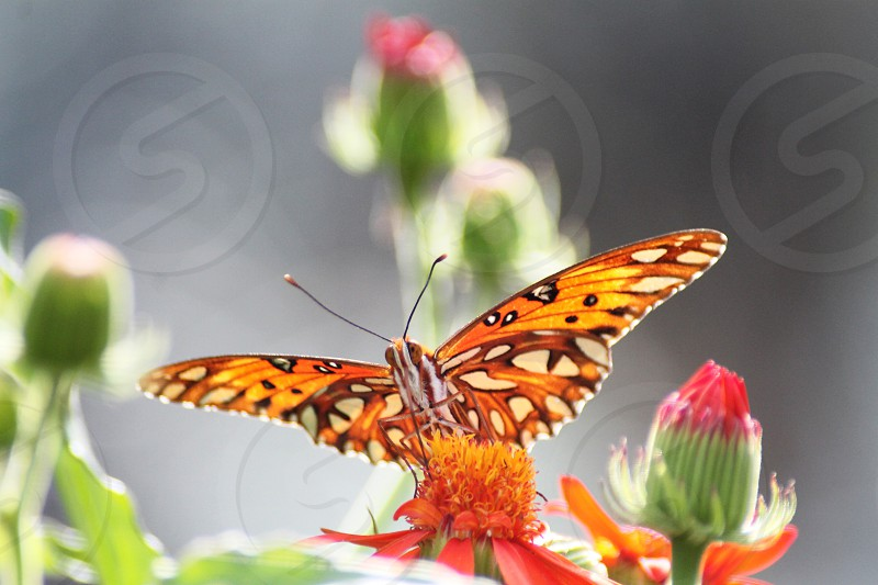 yellow and orange with clear spots butterfly on flower photo