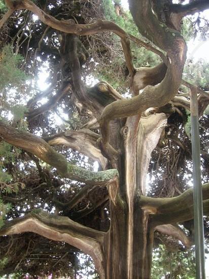 Old tree in Croatia.  photo