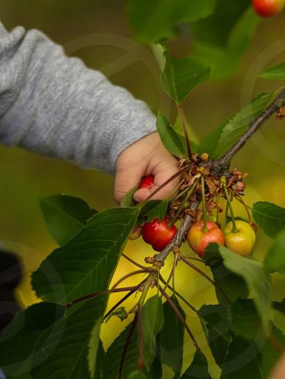 Baby hand cherry cherries fruit fruits picking food nature photo