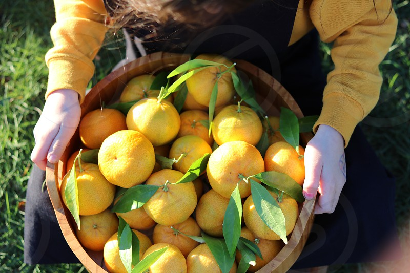 Fresh mandarins from the garden tree photo