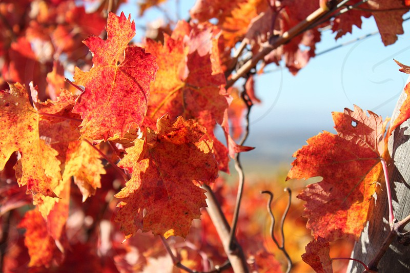 Vineyard leaves photo