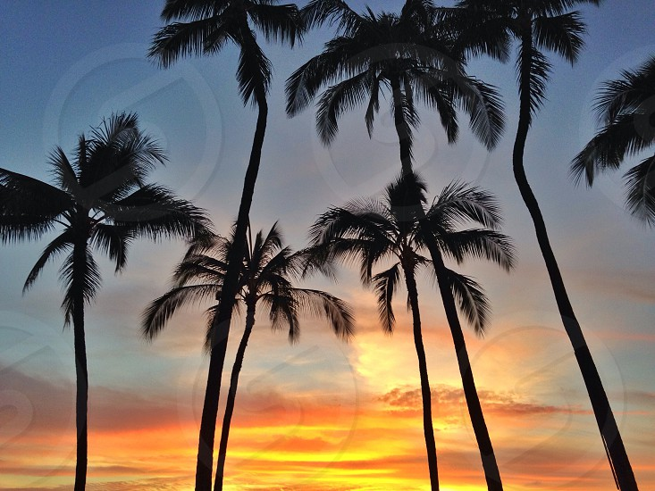 6 pine trees with sunset view  photo