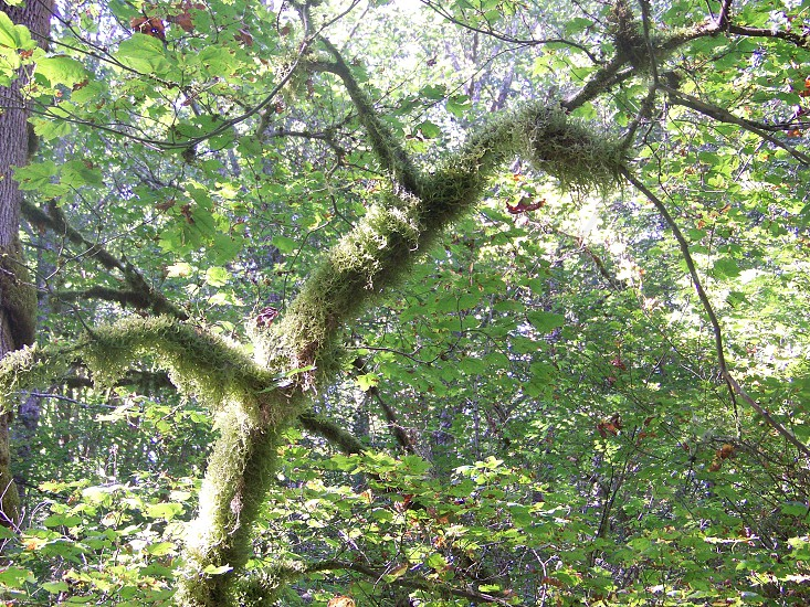 thickly growing moss-covered tree trunk & branches in a Pacific Northwest forest photo