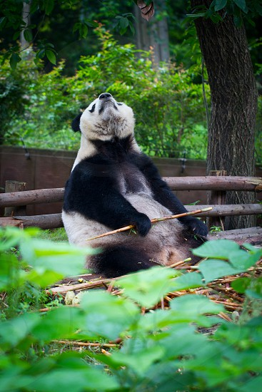 Panda China Enlightened photo