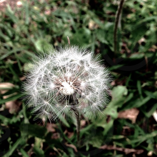 Nature plant beauty dandelion photo