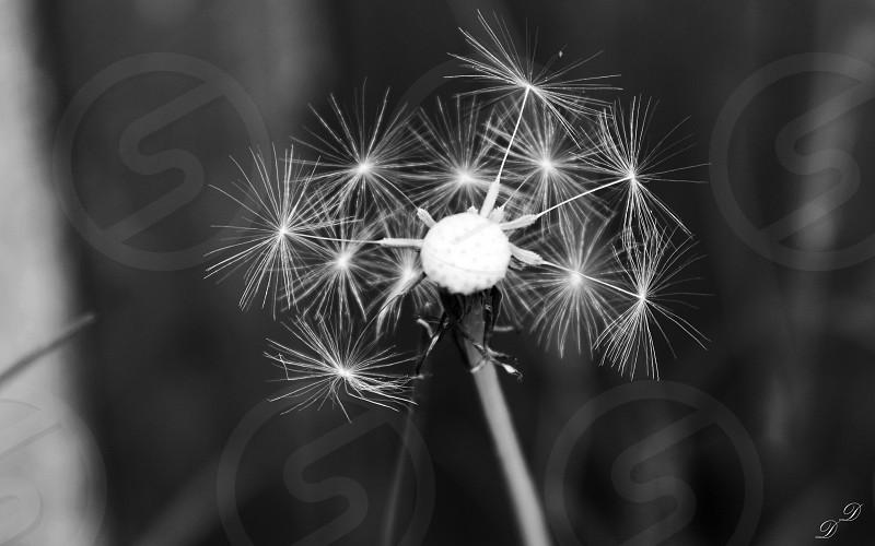 The dandelion i Love it 😌 photo