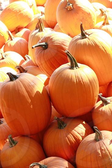Pumpkins patch fall Halloween autumn  photo