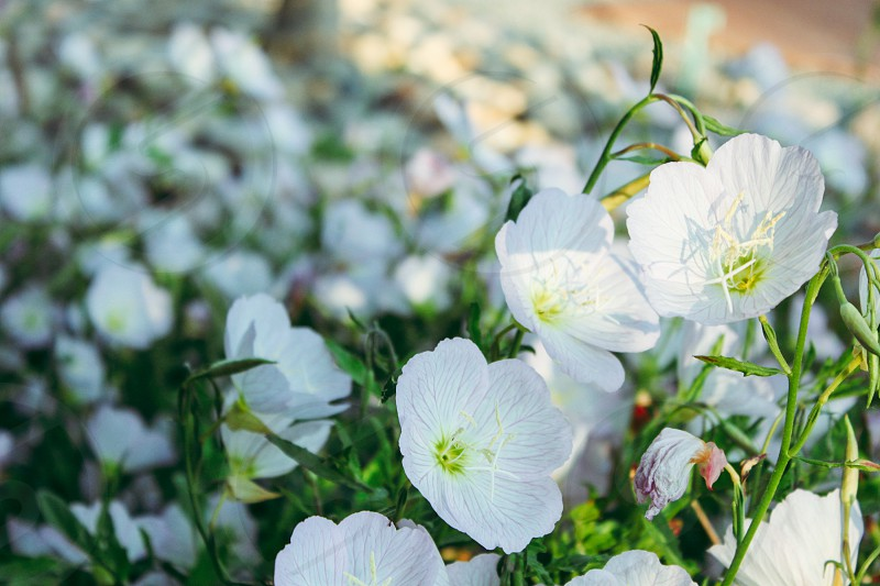 Flower bed with pretty white flowers photo