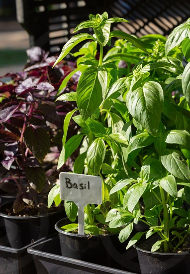 Healthy red and green basil plants for sale at an outdoor farmer's market photo
