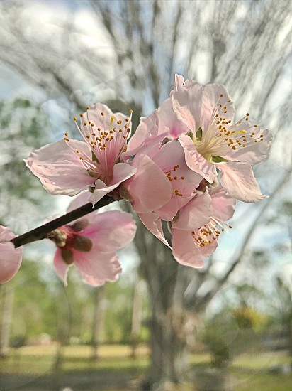 Peach blossom flower Spring blossom flowers pink pink flowers  photo