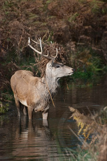 Young red stag deer crossing a stream wearing camouflage photo