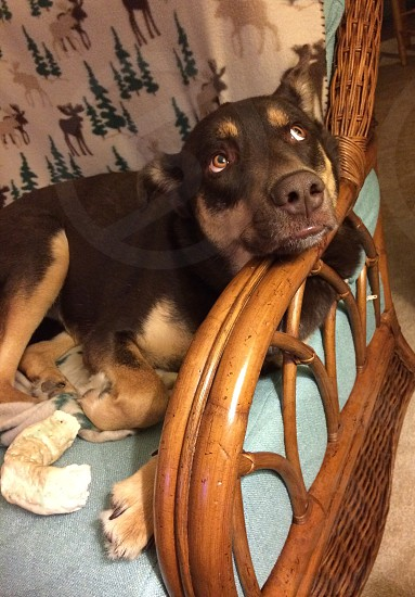 liver and tan australian kelpie on lounge chair photo