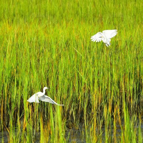 Marsh birds heron grass tide ocean sea wings fly photo