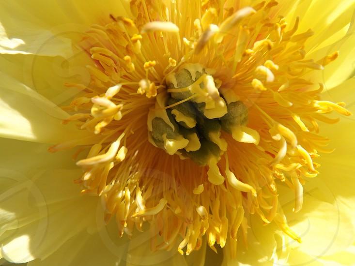 Yellow Peony photo