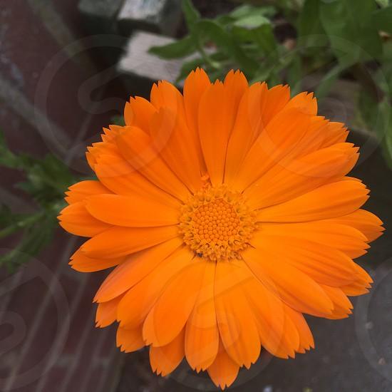 Orange flower nature flower power petals  photo
