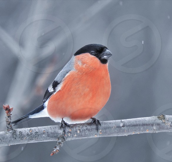 Bullfinch bird winter red nature  photo
