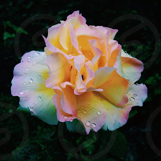 Rose covered in dew photo