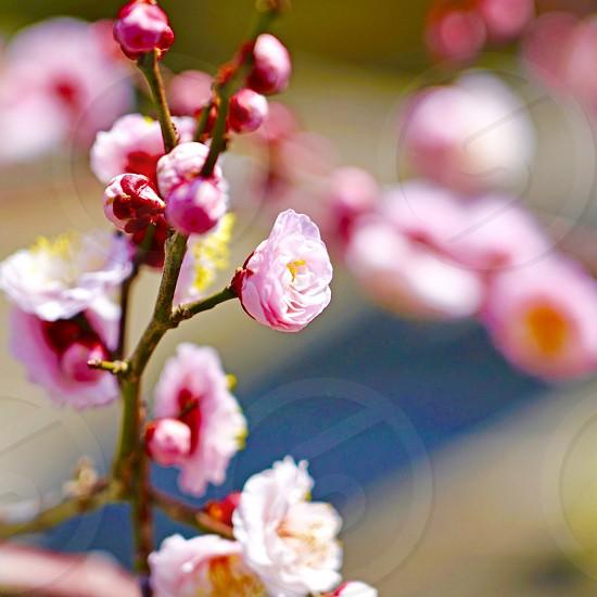 Minimalist blossoms blossom pink flower plum apricot branch Japan ume nature prunus Sakura  photo