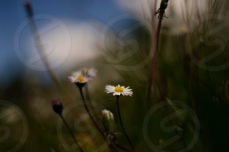 white daisy flower macro photography photo