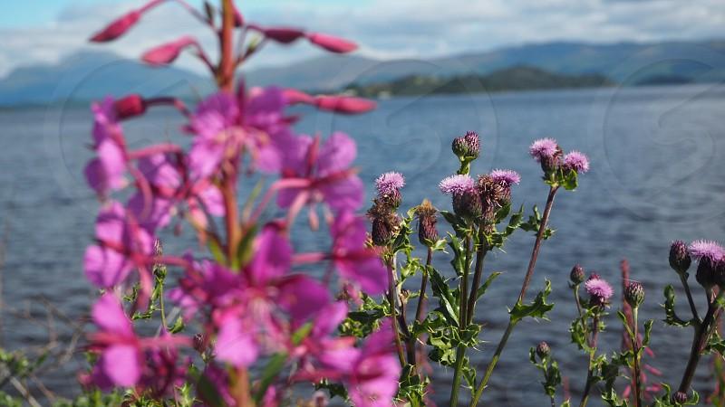 Scotland loch Lomamd Scottish thistle photo