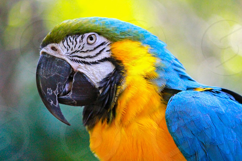 ara ararauna macaw photo