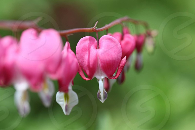 selective focus photography of pink Bleeding Heart flowers photo