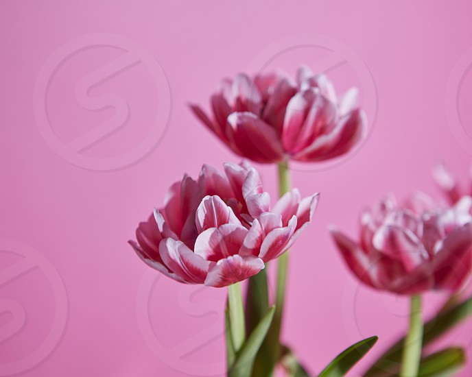 Flowers tulips pink white with green leaves on a pink background. Blossoming background as a layout for greeting card photo