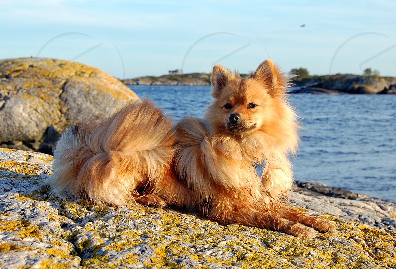brown long hair medium breed dog photo