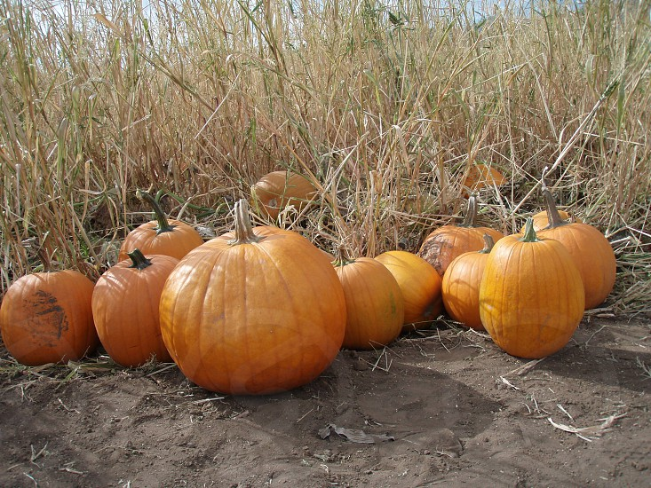 Pumpkin patch photo