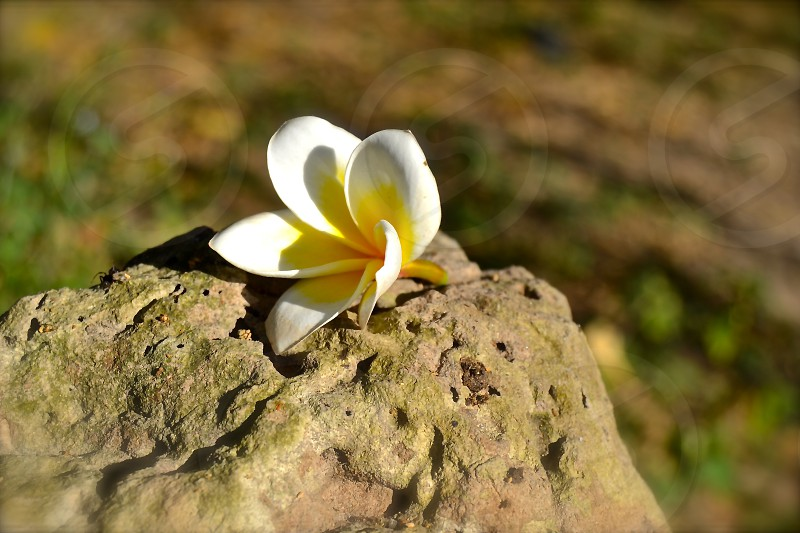 selective-focus photo of white and yellow plumeria flower on brown stone photo